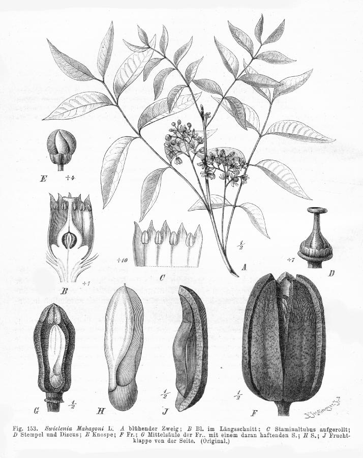 Caoba (Swietenia macrophylla) | Guardabosques Voluntarios de la ...